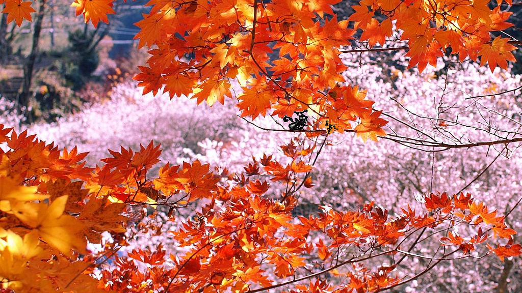 Sakura blossoms of autumn